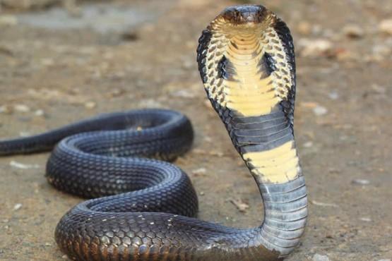 Encontraron una enorme serpiente escondida en el baño de un colegio