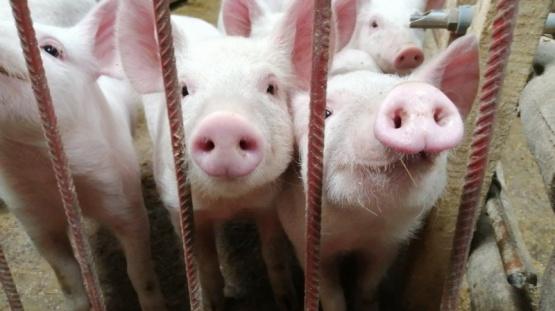 Alerta por una nueva gripe porcina que podría convertirse en pandemia