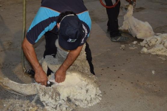 Provincia acompaña al sector ganadero en la esquila pre parto con protocolo de prevención