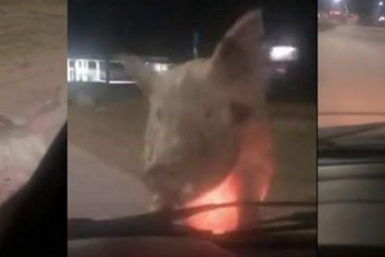 """""""¡Me sigue un chancho!"""": insólito video de una mujer y un cerdo"""
