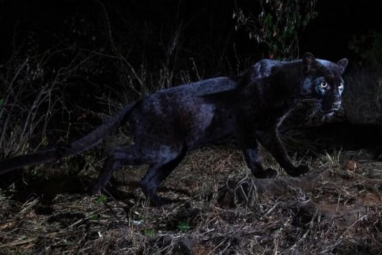 Fotografiaron a un leopardo negro a pocos metros de un safari