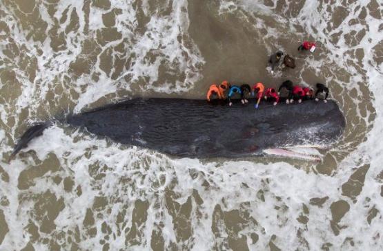 Una ballena quedó varada en una playa: Mirá el rescate