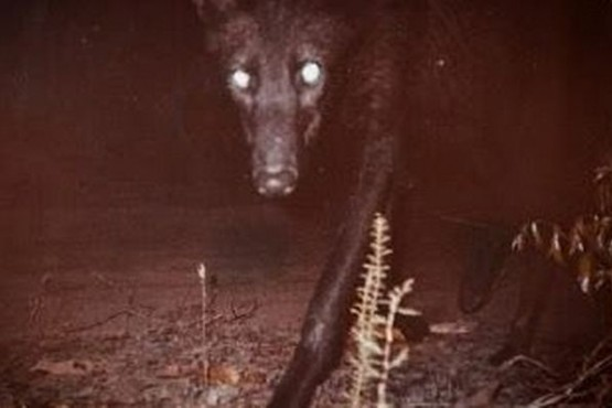 Apareció un extraño animal nocturno en el Chaco