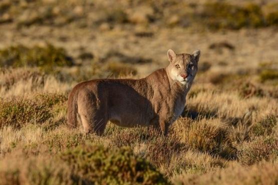 Festival digital para celebrar el Día del Puma