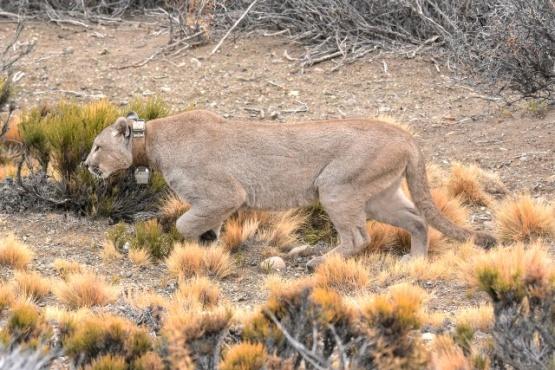 : Pepito, uno de los machos de puma, con collar de rastreo satelital. (Fotos Franco Bucci)
