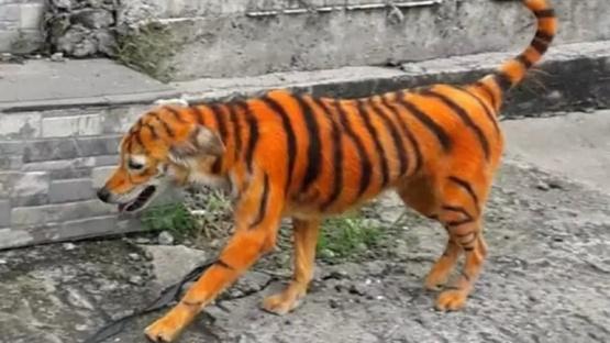 El perro que pintaron para que parezca un tigre.
