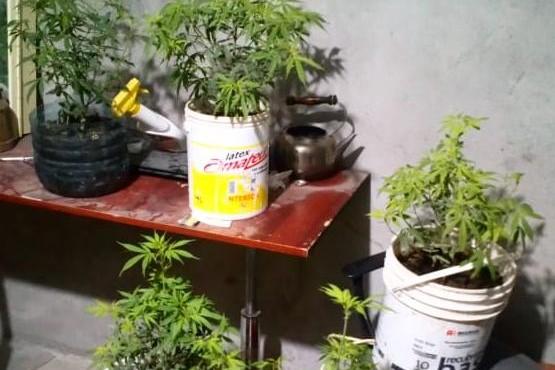 Las plantas fueron secuestradas por el personal de Narcocriminalidad.
