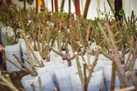 Municipio plantará rosales en la Avenida Gregores