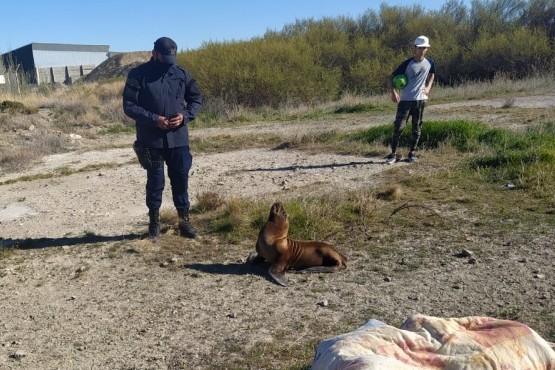 Pese a ser mordidos, policías rescataron un lobo marino