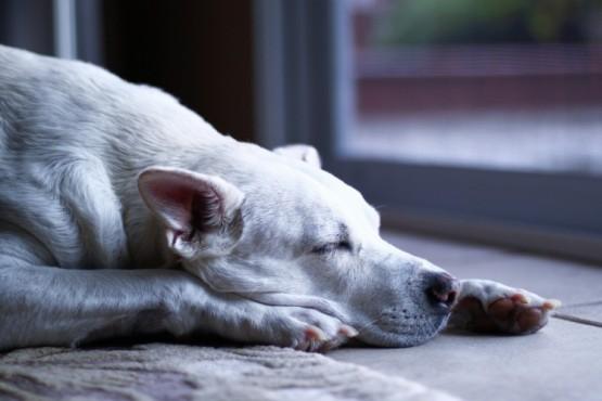 Especialistas explican por qué los perros parecen correr cuando duermen