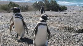"""Los pingüinos comenzaron a llegar """"sanos y fuertes"""" a las reservas"""