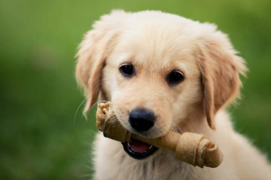 Qué puede pasar si a tu cachorro le das alimento para perros adultos