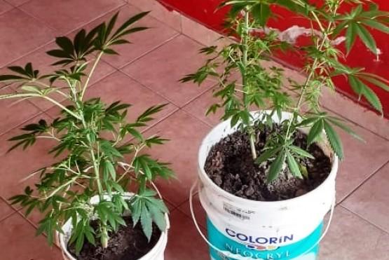 Tuvo problemas con la pareja y entregó sus plantas de marihuana a la policía
