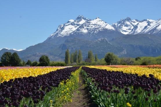 Harán llover pétalos de tulipanes como cierre de temporada