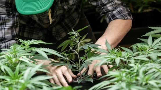 Quiénes pueden acceder al cannabis medicinal y qué hay que hacer para autocultivar