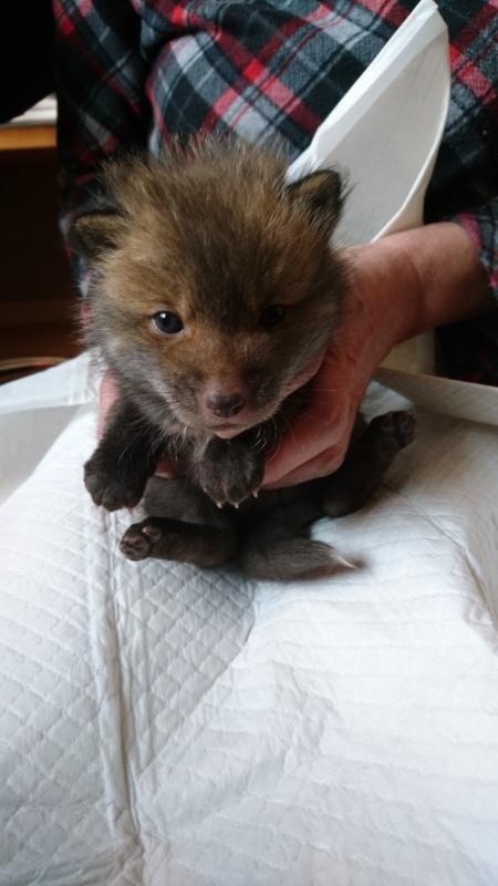 El zorro bebé.
