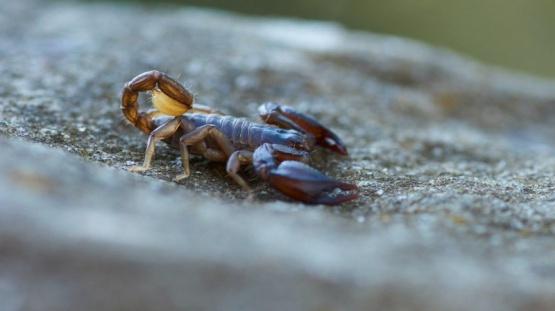 La Plata: Lo picó un escorpión mientras dormía y quedó internado