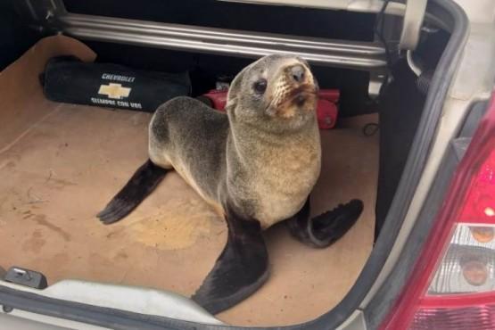 Río Gallegos| Remisero sorprendido por un lobo marino en plena Ruta 3