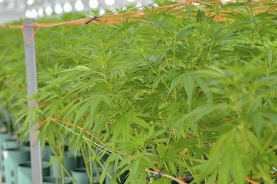Jujuy es la primera provincia que comenzó la producción de aceite de cannabis