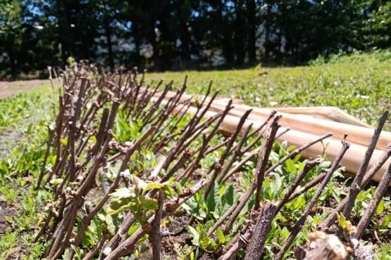 Chubut  El Ministerio de Agricultura implementa el primer viñedo estatal para promover la producción vitivinícola