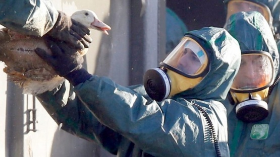 Sacrificaron más de 200 mil patos en Francia por brote de gripe aviar