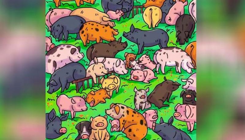 Reto viral: encontrar al hipopótamo camuflado entre los cerdos