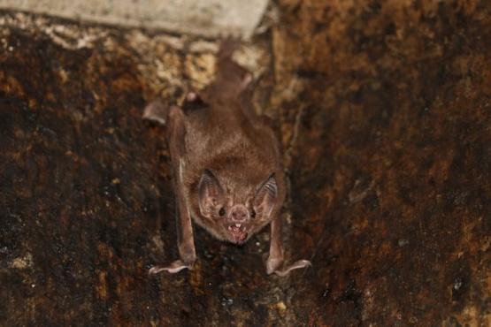 Cinco murciélagos hallados en Tailandia tenían un nuevo coronavirus