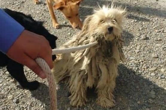 Perrito rescatado con exceso de pelo.