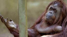 Vacunaron contra el coronavirus a nueve monos del zoologico