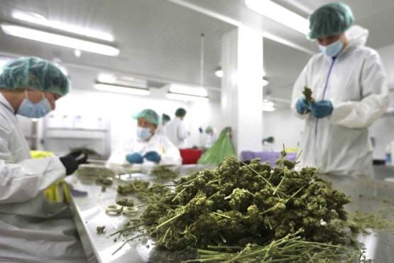 Plantas de cannabis.