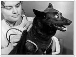 Un día como hoy, la perra Chernushka viajaba a bordo del Sputnik 9.