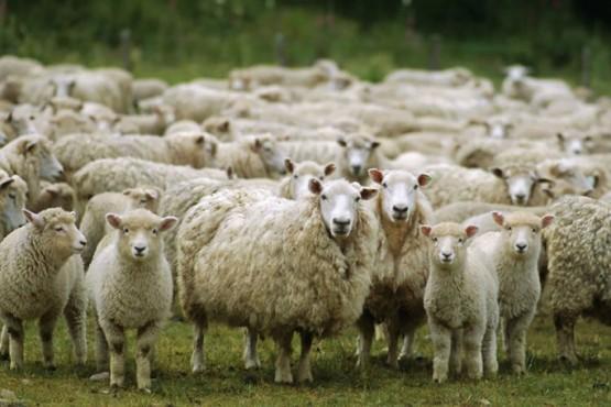Buscarán proyectar la producción ovina.