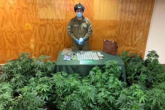 Las plantas de marihuana incautadas.