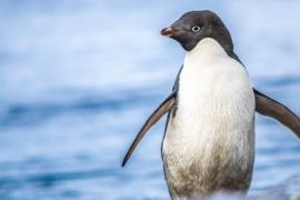 Investigadores chilenos descubren nuevo virus que afecta a pingüinos antárticos