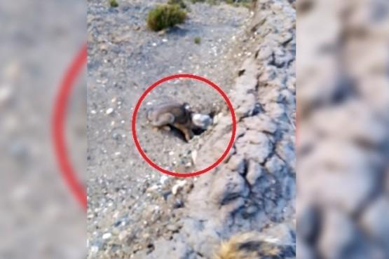 Ciclistas de Río Gallegos rescataron a un zorro que tenía atascada la cabeza en una botella