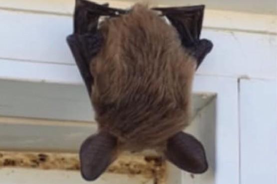 Murciélago en Puerto Santa Cruz