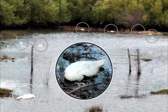 Al menos 15 cisnes cuello negros muertos en la bahía.