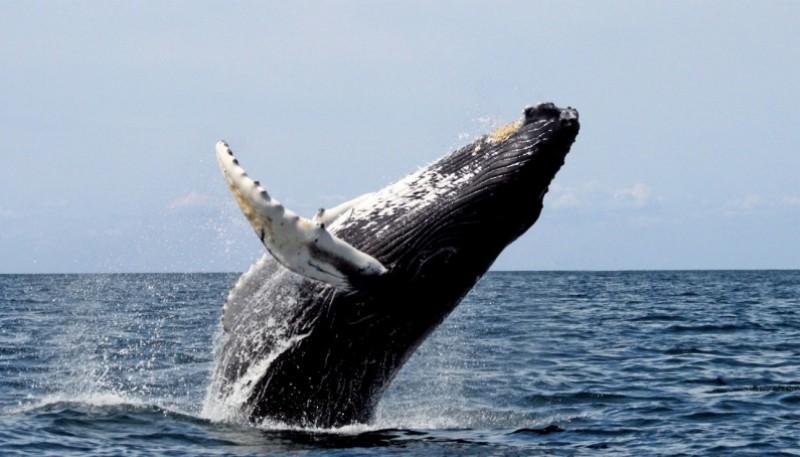 Cada año aumenta el número de ballenas de diferentes especies censadas en el sur del Golfo San Jorge.