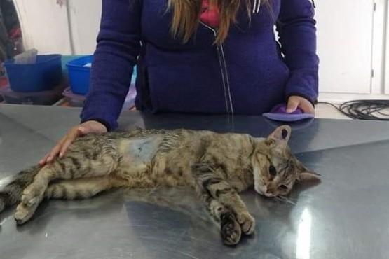 Continúa el trabajo de castración animal para contribuir al control poblacional canino y felino en Caleta Olivia
