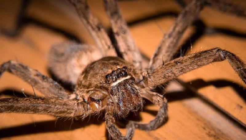 """Una araña """"monstruo"""" dio a luz a 200 crías con ayuda de una mujer"""