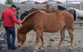 Municipio secuestró caballos que deambulaban en la calle