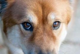 Los perros buscan la mirada para generar un vínculo más rápido con humanos