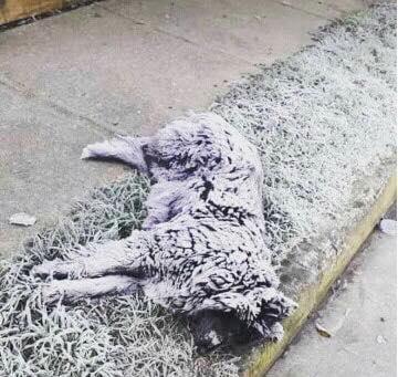 Perrito que falleció por el frío en una noche de -6° en Osorno, Chile (Asociación de Protección Animal Darwin)