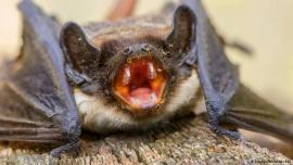 Peligro en China: hallaron 24 tipos desconocidos de coronavirus en murciélagos