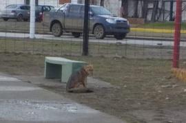 Río Gallegos: Vieron un zorro en el parque y terminaron llamando a la Policía
