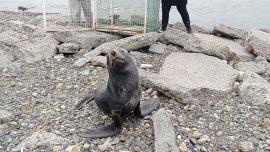 Galería de fotos: apareció un lobo marino en la costanera de Río Gallegos