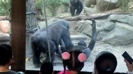 Dos gorilas escandalizan al público de un zoo con una escena de sexo oral
