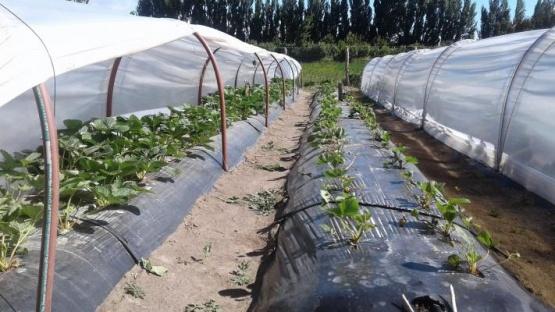 """La Frutilla: """"Aportes para una mejor implantación, desarrollo y producción del cultivo"""""""